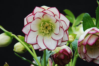 Helleborus x hybridus 'Ice and Fire'|NW Garden Nsy, OR|NW Garden Nsy