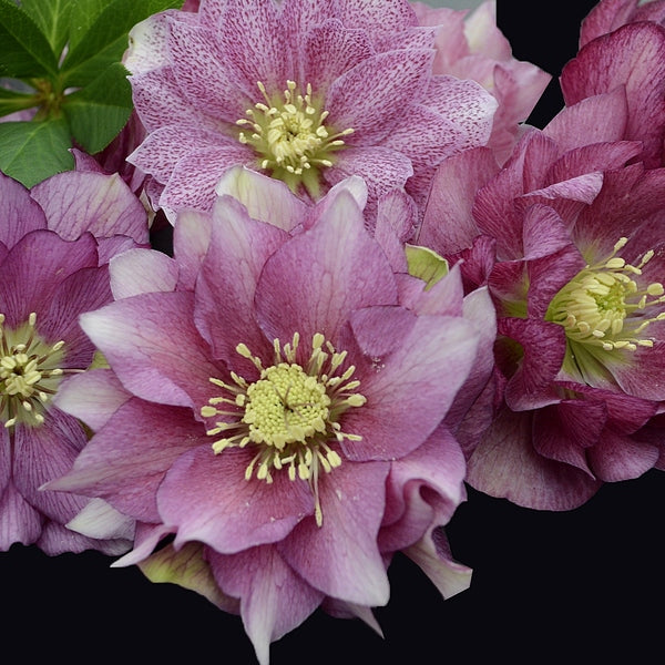 Helleborus x hybridus 'Maid of Honor'