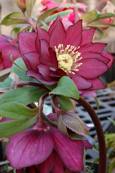 Helleborus x hybridus 'Red Sapphire'|Terra Nova Nurseries, OR|Terra Nova Nurseries