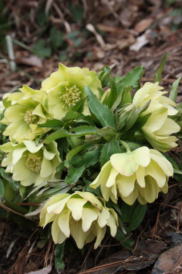 Helleborus x hybridus Winter Delights Double Yellow
