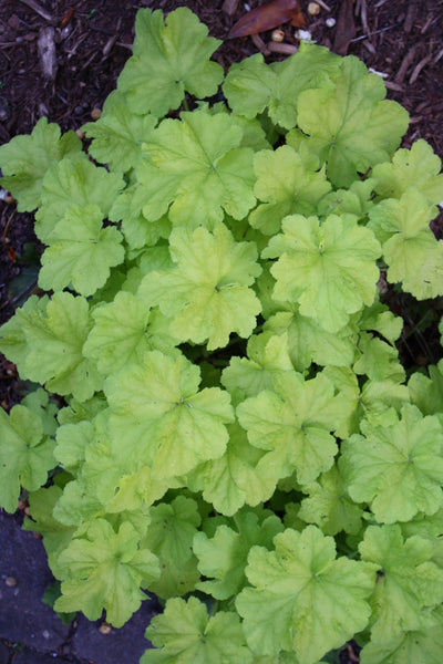 Heuchera 'Citronelle' PP 17,934|Juniper Level Botanic Gdn, NC|JLBG