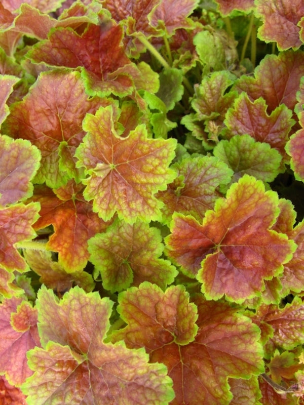 Heuchera 'Miracle' PPAF