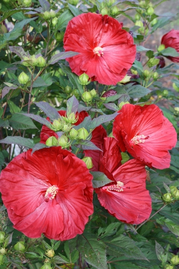 Hibiscus Cranberry Crush Pp 21984 For Sale 2000 Plant Delights