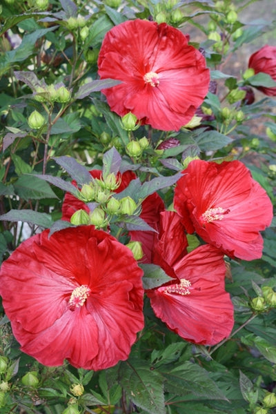 Hibiscus 'Cranberry Crush' PP 21,984|Juniper Level Botanic Gdn, NC|