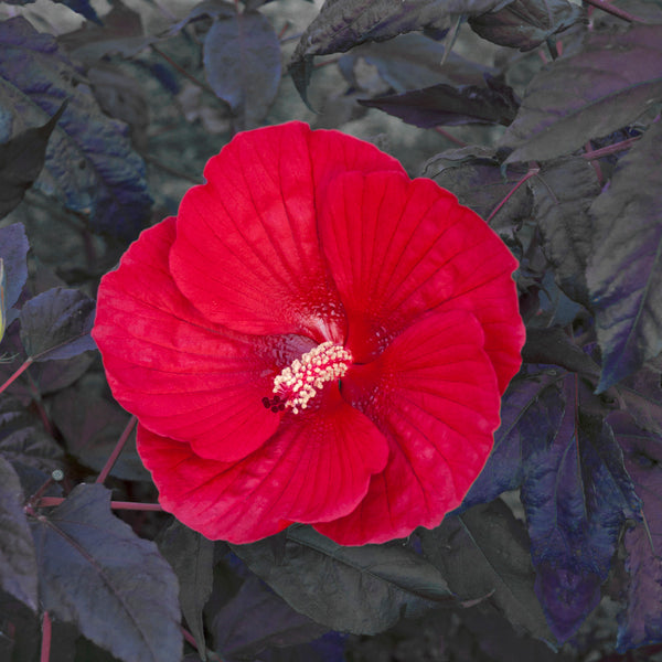 Image of Hibiscus 'Midnight Marvel' PP #24,079