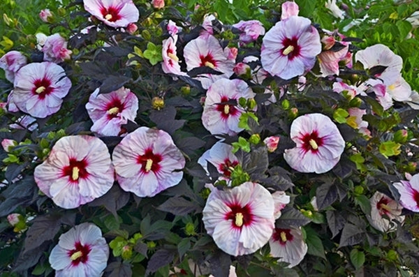 Hibiscus 'Perfect Storm' PP 27,880