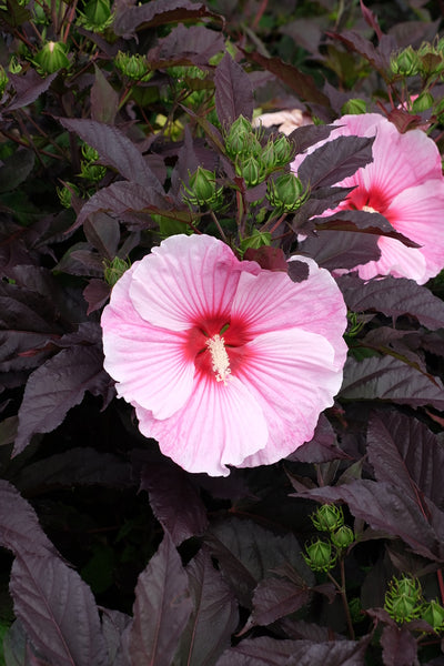 Hibiscus 'Starry Starry Night' PP 27,901|Walters Gardens, MI|T. Avent