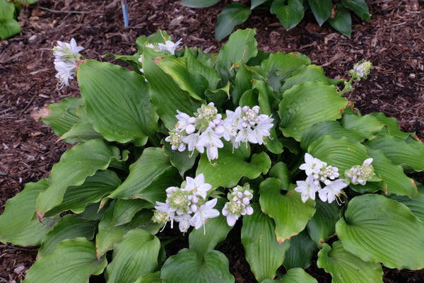 Image of Hosta 'A Scape Plan'