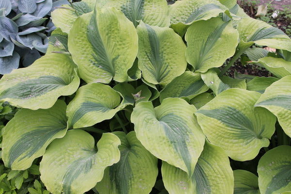 Hosta 'Afterglow' PP 26,755
