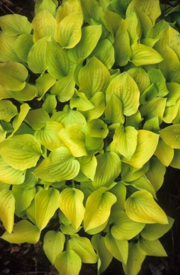 Hosta 'Banana Puddin'