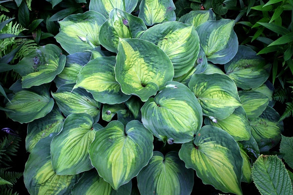 Hosta 'Beyond Glory' PP 28,784