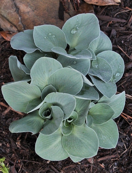 Hosta 'Blue Mouse Ears'|Juniper Level Botanic Gdn, NC|JLBG