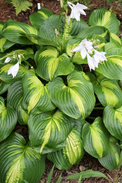 Hosta 'Cathedral Windows' PP 17,295|Juniper Level Botanic Gdn, NC|JLBG