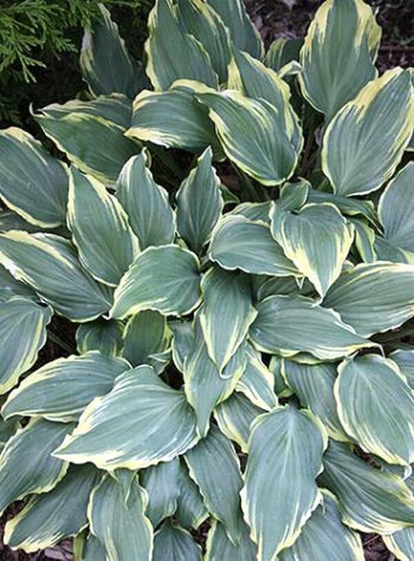 Image of Hosta 'Deliverance'