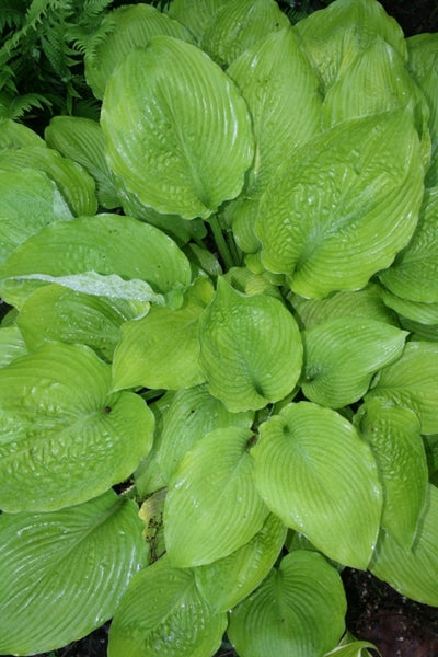 Hosta 'Key West'|Juniper Level Botanic Gdn, NC|