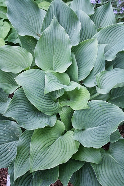 Hosta 'Komodo Dragon'|Juniper Level Botanic Gdn, NC|JLBG