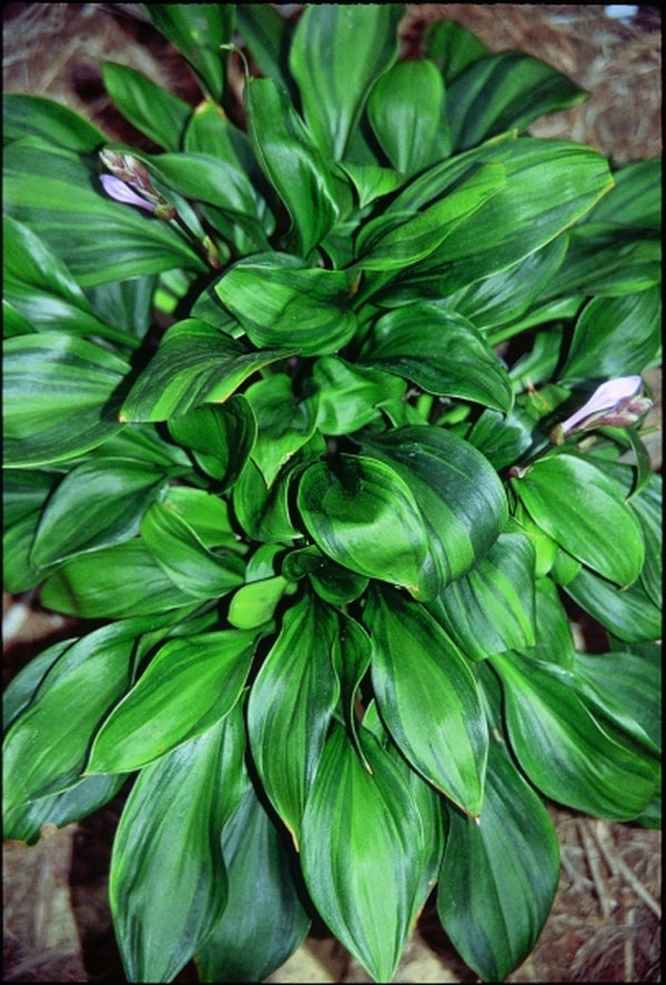 Hosta 'Obsession'