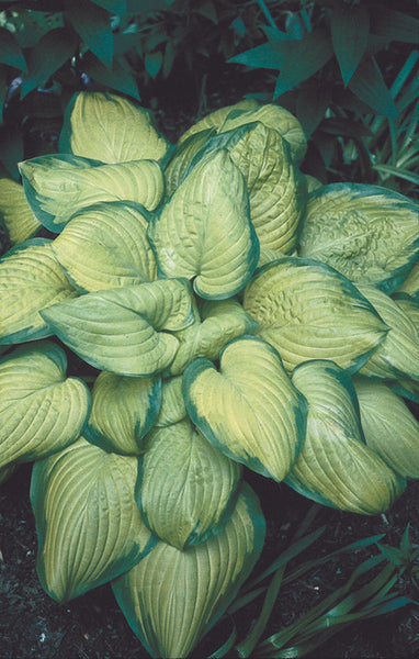 Hosta 'Stained Glass'|H. Hansen Gdn, MN|T. Avent