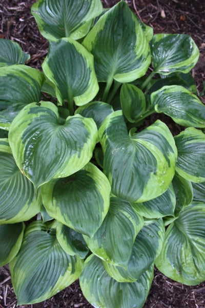 Hosta 'Titanic' PP 12,402|Juniper Level Botanic Gdn, NC|