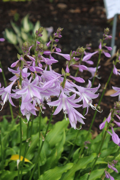 Hosta 'Tongue Lashing' ||