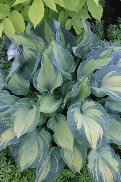Hosta sieboldiana 'Golden Meadows'|Walters Gardens, MI|