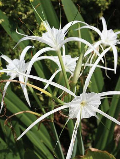 Hymenocallis 'New Lion'|Juniper Level Botanic Gdn, NC|JLBG