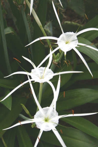 Hymenocallis caribaea 'Tropical Giant'|Juniper Level Botanic Gdn, NC|JLBG
