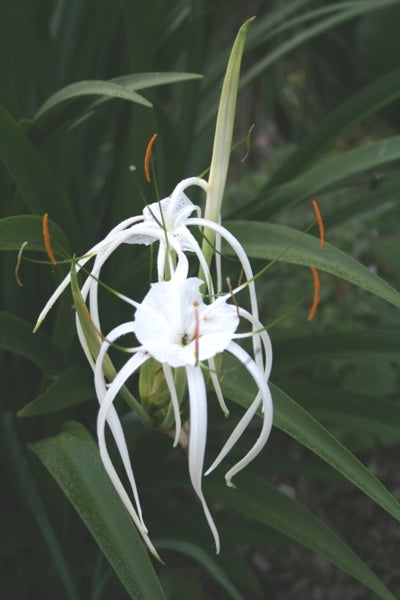 Hymenocallis riparia|Juniper Level Botanic Gdn, NC|JLBG