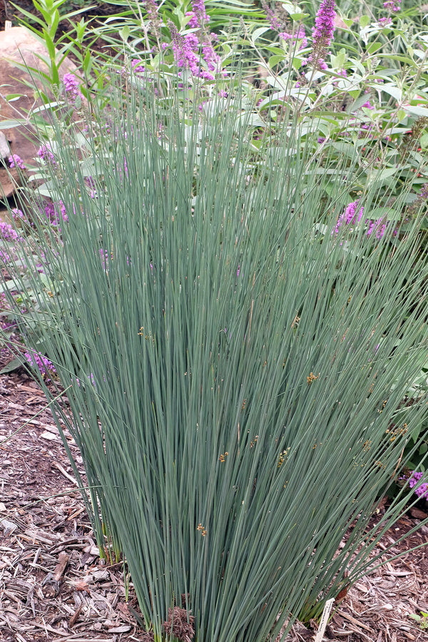 Juncus patens 'Carman's Grey'