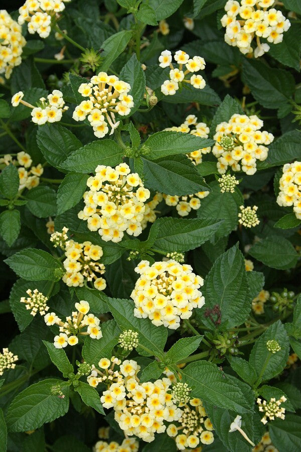 Lantana 'Chapel Hill Yellow' PP 19,548
