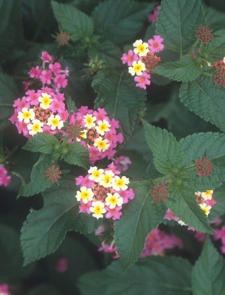 Lantana camara 'Ham and Eggs'|Juniper Level Botanic Gdn, NC|JLBG