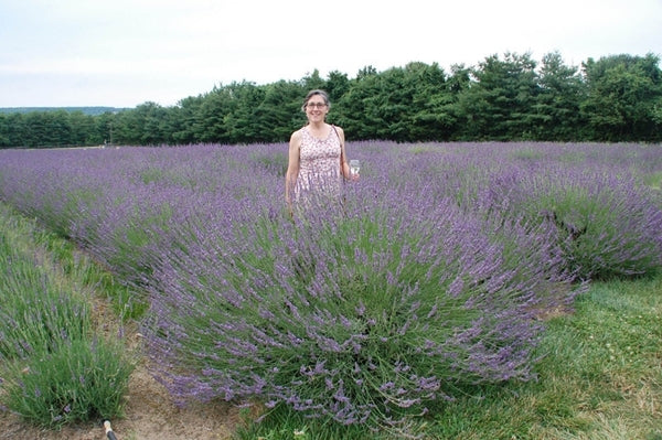 Lavandula x intermedia 'Phenomenal' PP 24,193|Peace Tree Farm, PA|L. Traven