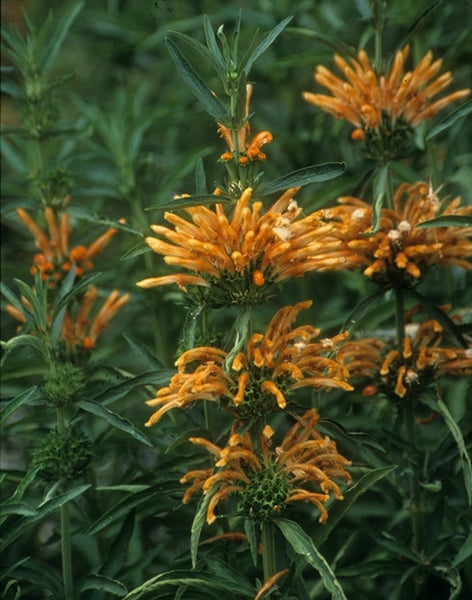Leonotis leonurus|Golden Pond Nursery, CA|