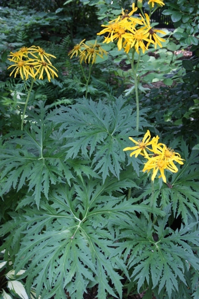 Ligularia japonica 'Chinese Dragon'|Juniper Level Botanic Gdn, NC|JLBG