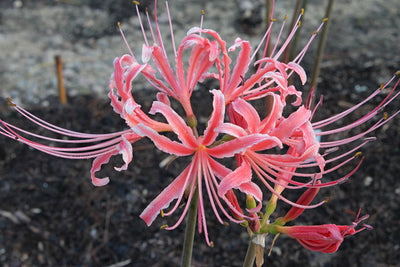 Lycoris x albiflora 'Blushing Lady'|Juniper Level Botanic Gdn, NC|JLBG