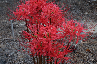 Lycoris radiata var. radiata 'Fire Engine'||