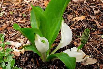 Lysichiton camtschatcensis||