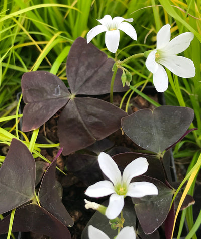 Oxalis triangularis 'Black Beauty'|Juniper Level Botanic Garden|Chris Hardison