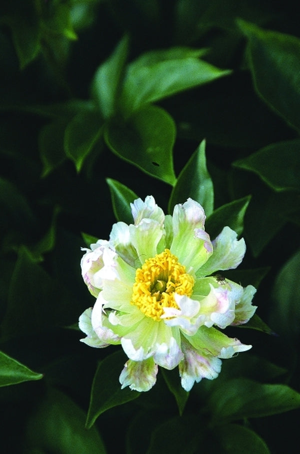 Paeonia 'Green Lotus'