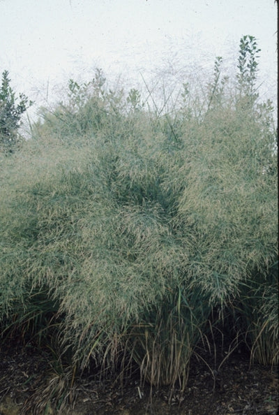 Panicum virgatum 'Cloud Nine'|Juniper Level Botanic Gdn, NC|JLBG