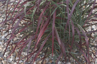 Panicum virgatum 'Ruby Ribbons' PP 17,944|Emerald Coast Gdns, FL|Emerald Coast Gdns