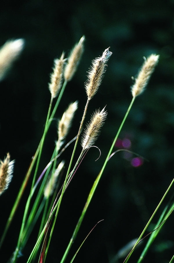 Pennisetum massaicum 'Red Buttons'