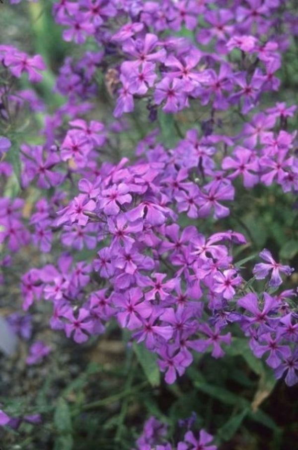 Phlox divaricata 'Louisiana'