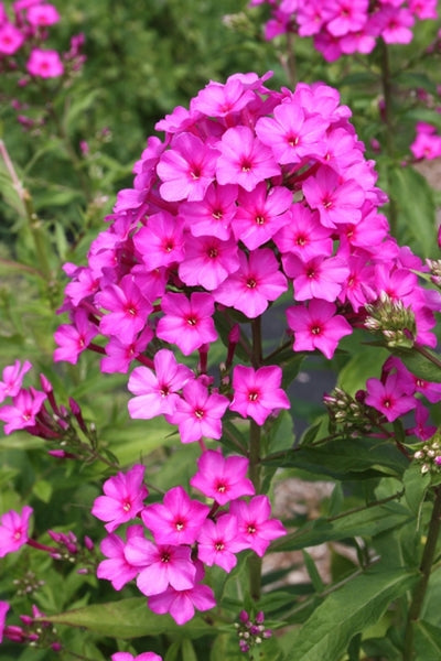 Phlox paniculata 'Dick Weaver'|Juniper Level Botanic Gdn, NC|