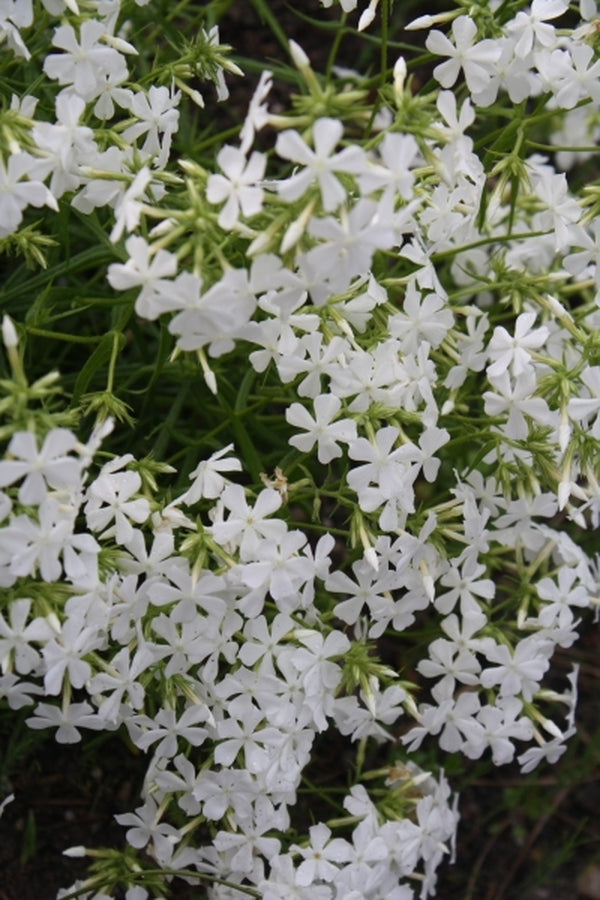 Phlox pilosa 'Forest Frost'