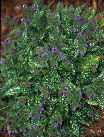 Pulmonaria 'Trevi Fountain' PP 13,047|Juniper Level Botanic Gdn, NC|JLBG