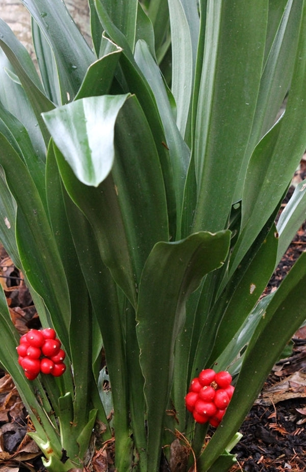 Rohdea Japonica Japanese Sacred Lily For Sale 19 00 Plant Delights Nursery