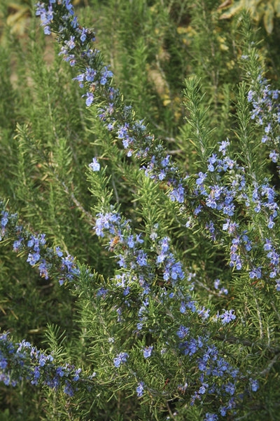 Rosmarinus officinalis 'Arp'|Juniper Level Botanic Gdn, NC|
