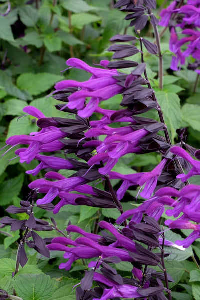 Salvia 'Amistad' PP 23,578|Juniper Level Botanic Gdn, NC|