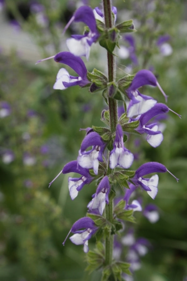 Image of Salvia 'Madeline' PP 20,456